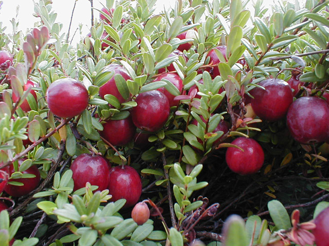 How The Cranberry Became Part Of Our Thanksgiving